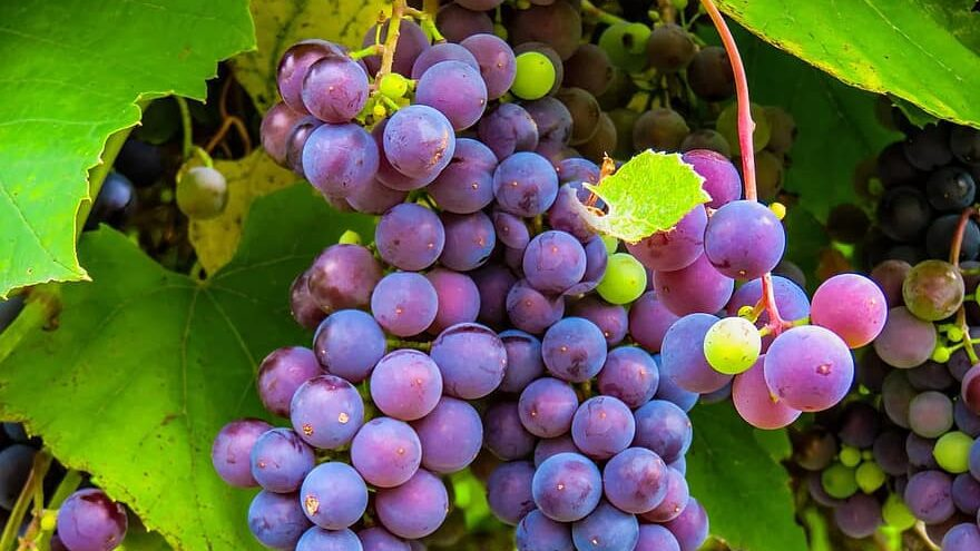 las uvas se cosechan maduras a la perfección