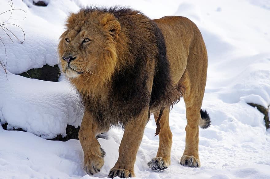 melena del león