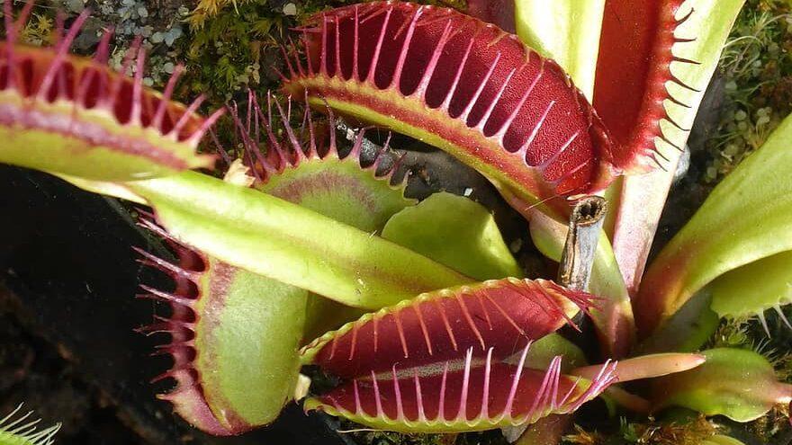planta carnivora, venus atrapamoscas