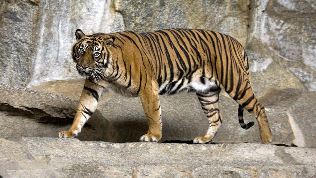 especies en peligro de extinción: tigre de sumatra