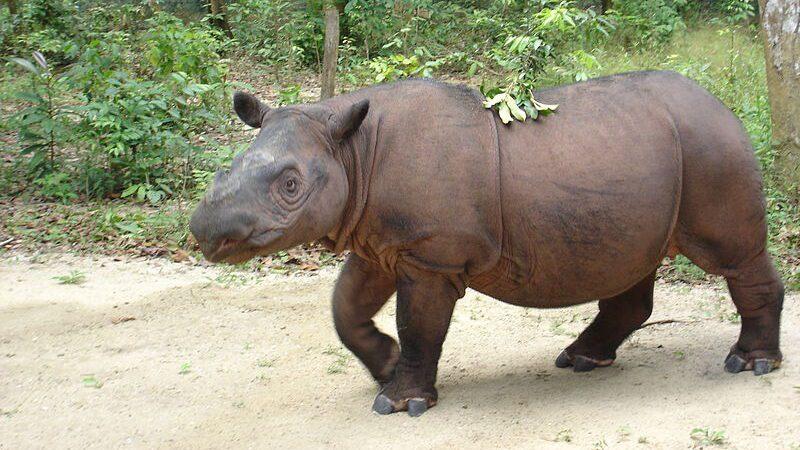 especies en peligro de extinción: rinoceronte de sumatra