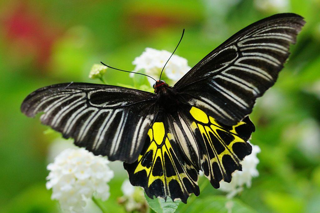 Una mariposa dGolden Birdwing Troides aeacus