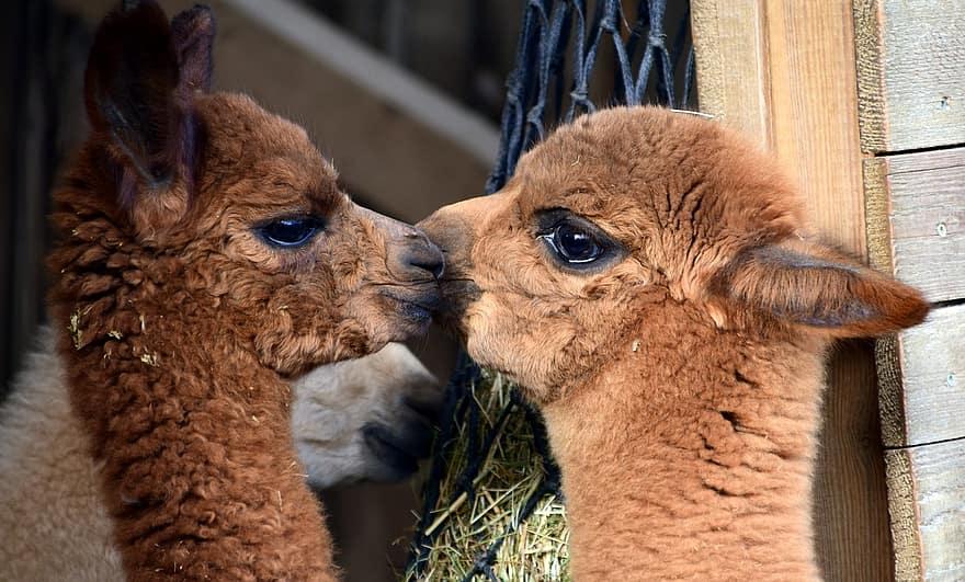 anticuerpos de las alpacas