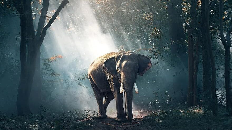 especies en peligro de extinción: elefante pigmeo