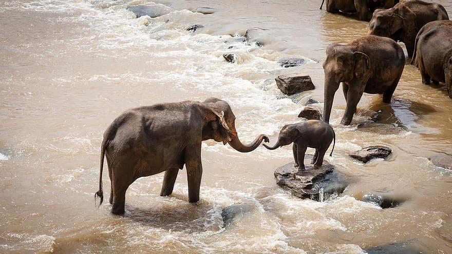 elefante de sumatra