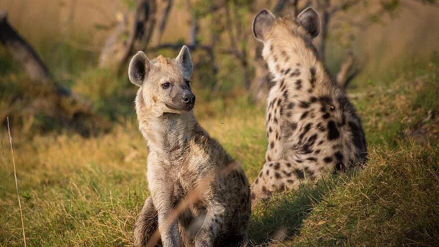 se ríen las hienas