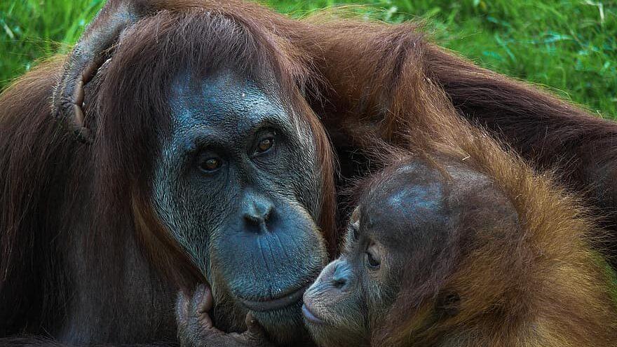 especies en peligro de extinción: orangutan