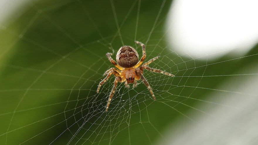 arañas honda