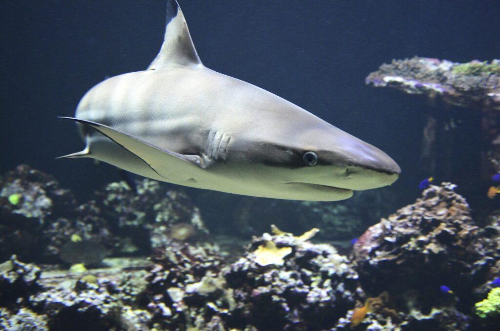 Los tiburones en el Golfo de México parecen haberse quedado cuando pasó el huracán Laura, dijo un científico que los rastreaba