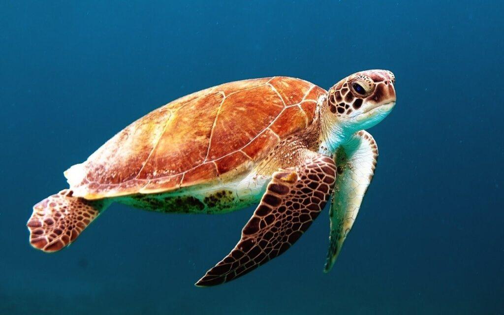 El plástico solo se ha producido en masa desde la década de 1940, pero está teniendo un impacto devastador en las tortugas marinas